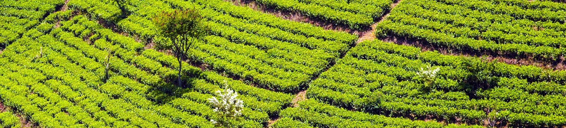 Visite d'une plantation de thé et de son usine + dégustation