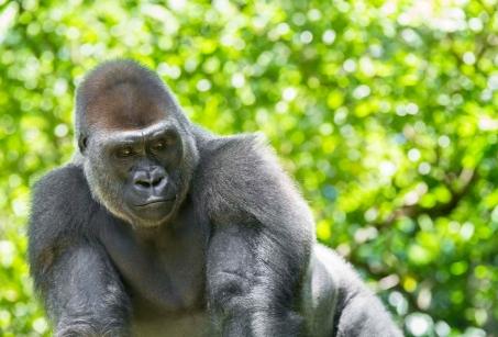 Gorilles et Randonnées aux pays des volcans