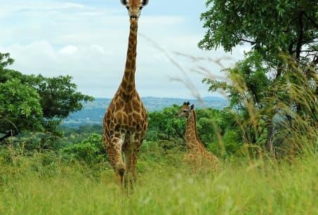 Dessine-moi une girafe