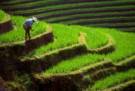 Au cœur des rizières