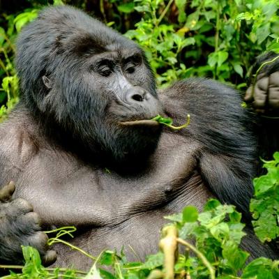 A la rencontre des gorilles de montagne