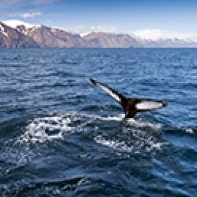 Croisière d'observation des baleines à Husavik