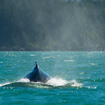 Croisière d'observation des baleines en Scandinavie
