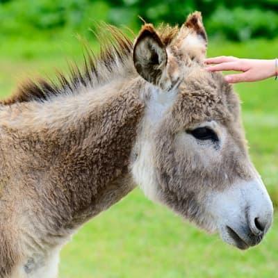 Randonnée avec un guide local et un âne
