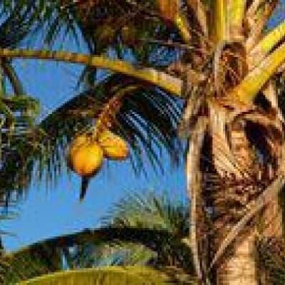 Au cœur des plantations de noix de coco