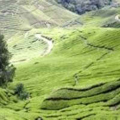 Visiting a tea plantation in the Cameron Highlands