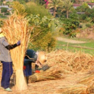 Initiation à l'agriculture vietnamienne (Tra Que)
