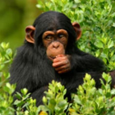 Un permis chimpanzé