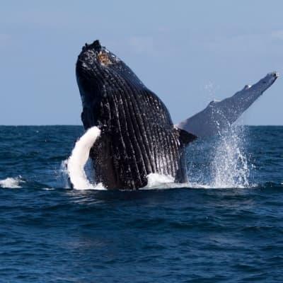 Observation des baleines en Colombie