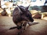 Dessine-moi un kangourou !