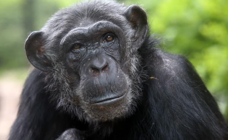 Touche de près les chimpanzés