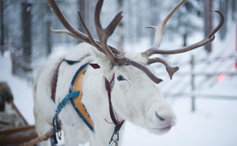 Balade en traîneau à rennes