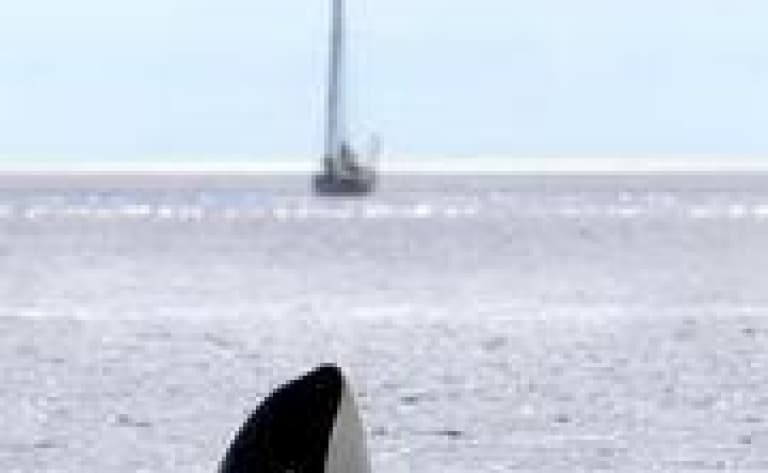 Croisière d'observation des orques