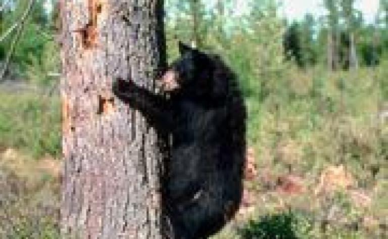 Tour en jeep pour observer les ours noirs et les castors