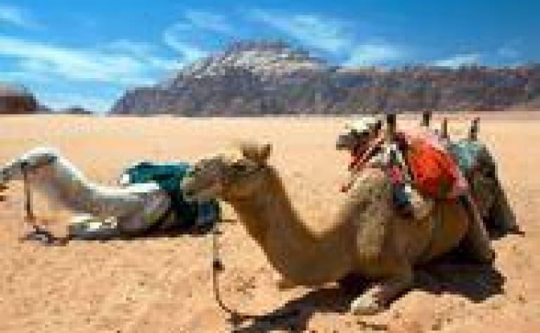 A dos de chameau dans le désert