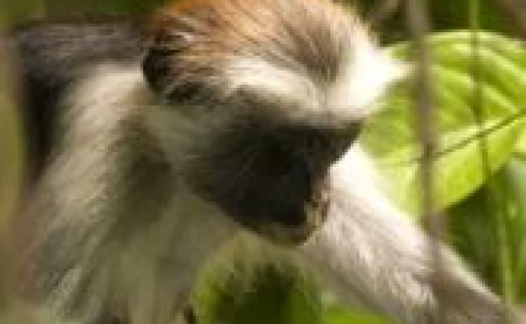 Visite de la forêt de Joziani - Archipel de Zanzibar
