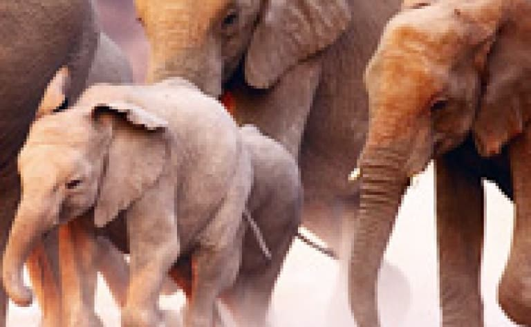 A dos d'éléphant (Afrique Australe)