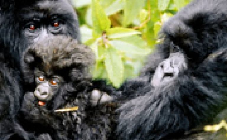 Un permis gorille