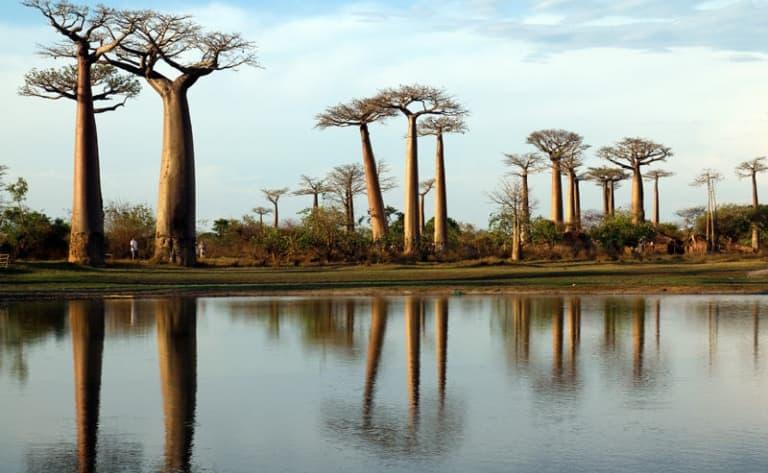 Majestueuse allée des Baobabs