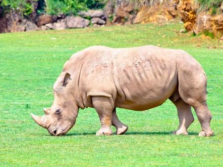 Marche guidée à la recherche des rhinocéros blancs
