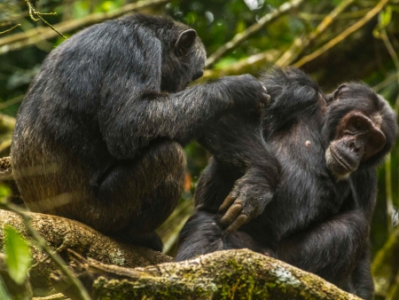 Chimpanzés et safari dans la savane