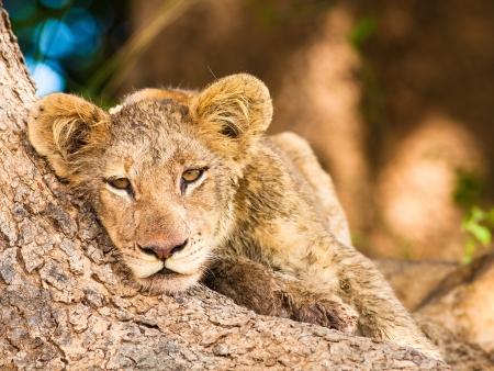 Ishasha, où les lions vivent dans les arbres