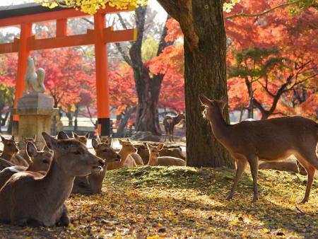 Nara, ses temples et ses daims en liberté