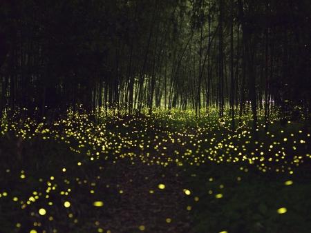 La féerie des lucioles de Kuala Selangor