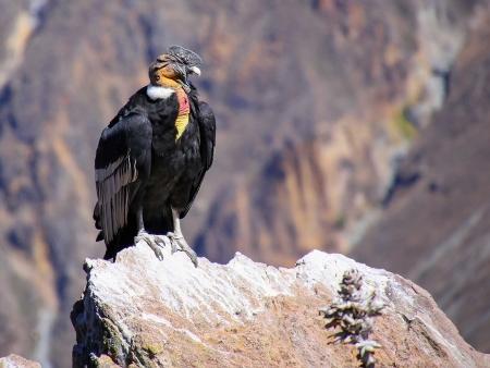 Observation des condors