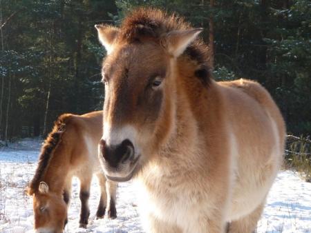 La réserve des chevaux sauvages de Pzewalski
