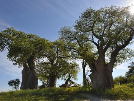 La forêt insolite de baobas