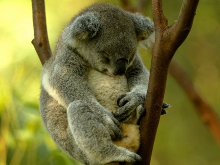 Rencontre avec les kangourous et les koalas