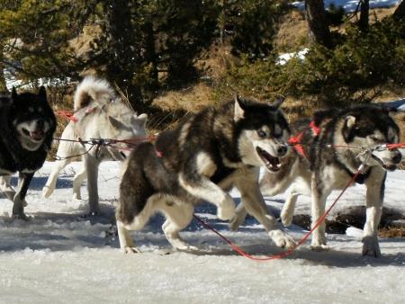 A vos chiens, prêts, partez !