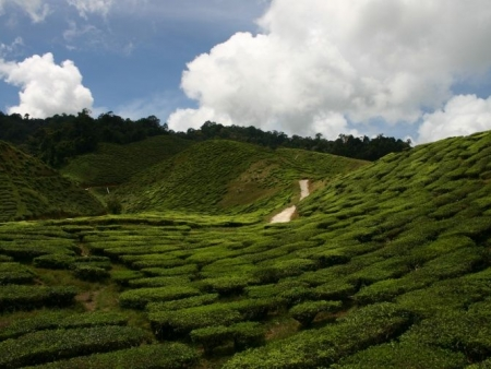In the heart of the Cameron Highlands