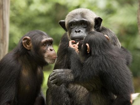 A la découverte des chimpanzés