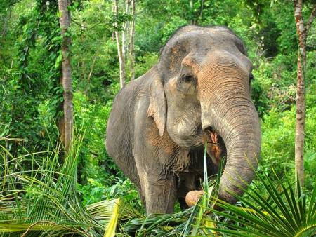 Eléphants et cyclo-pousse dans Chiang Mai