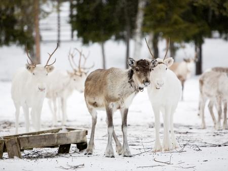 Laponie, entre nuit polaire et Soleil de minuit