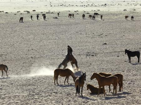 Les chevaux sauvages du Namib