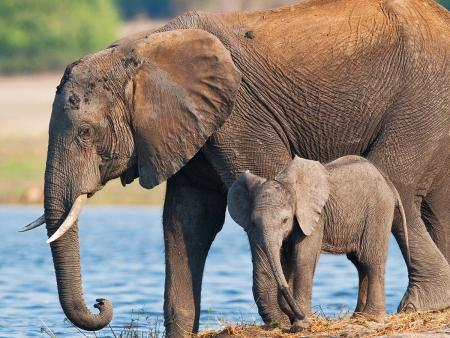 Immenses troupeaux de Chobe ( 240 km)