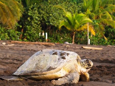 Tortuguero, royaume des caïmans et des tortues